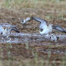 Limicoli a fine agosto nel Parco Nazionale del Circeo (Latina)