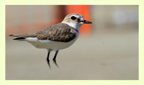 Sabato 7 gennaio 2017 la SOI ed il GAROL presentano il nuovo numero de gli uccelli d'Italia e una miniconferenza su Fratino e Corriere piccolo nel Lazio.